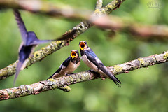 Barn swallows waiting for lunch