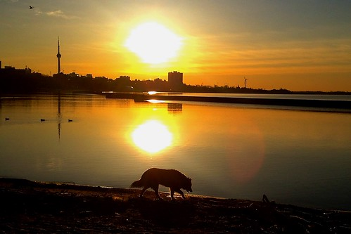 morning dog toronto ontario canada beach sunrise cntower 狗 加拿大 日出 多伦多 沙灘 倒影 多倫多 humberbay