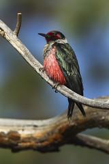 Lewis' Woodpecker - Bend - Oregon_S4E6280