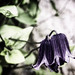 Clematis Vine by Linda Kosidlo