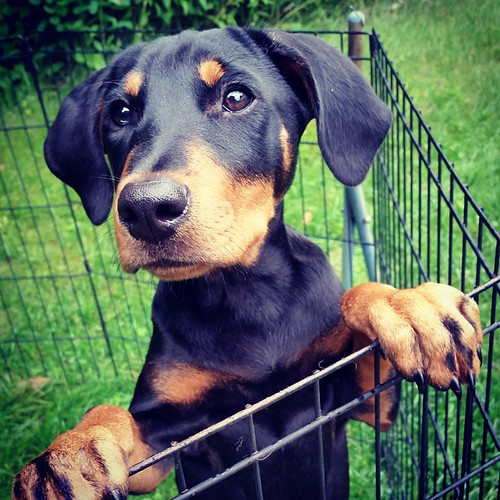 """""""Mama, da grass is wetz... Pleze pickz mez uppy... NOW!""""  #instapuppy #puppygram #dobermanpuppy #dobermanmix #rescuedpuppiesofinstagram #puppyeyes #puppyears #dobiemix #puppylove #rainymorning #muttstagram #puppiesofinstagram #puppycuteness"""