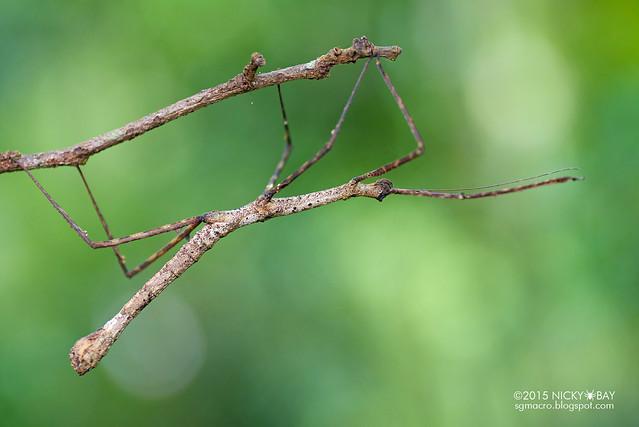 Stick insect (Phasmatodea) - DSC_5435