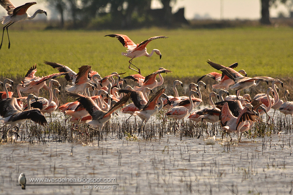 Flamenco austral (Chilean Flamingo) Phoenicopterus chilensis