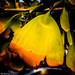 Gingko leaf by Thad Zajdowicz