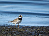 Common ringed plover // Charadrius hiaticula