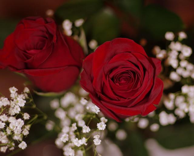 Valentines Rose, Pentax K-5, smc PENTAX-FA 77mm F1.8 Limited