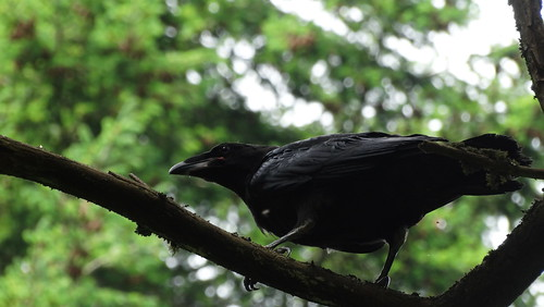 Ravens in Lincoln Park