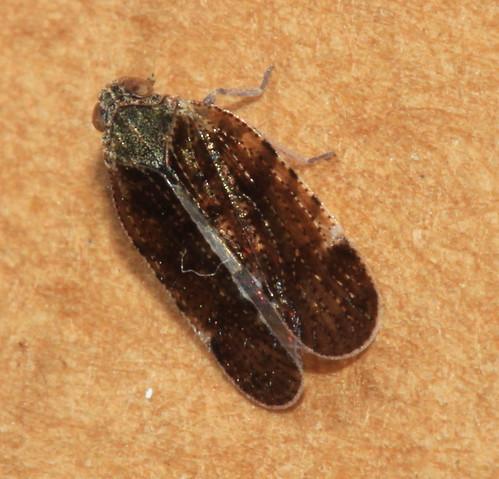 Tachycixius pilosus 6261