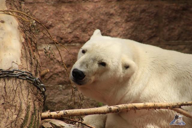 Eisbär Fiete im Zoo Rostock 11.07.2015  096