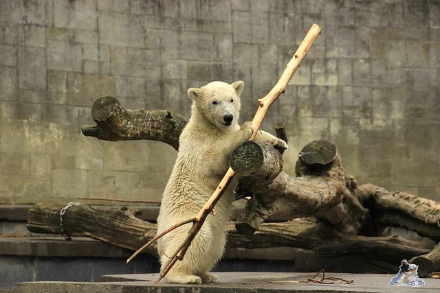 Eisbär Fiete im Zoo Rostock 12.07.2015 0150