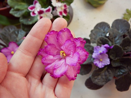 цветок от розовой с каёмочкой фиалки | ХорошоГромко.ру