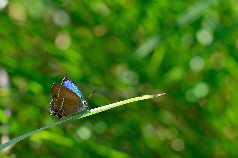 Neozephyrus japonicus / The Green Hairstreak