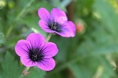 pink evening primrose(0.0), annual plant(1.0), geranium cinereum(1.0), flower(1.0), pinkladies(1.0), plant(1.0), macro photography(1.0), wildflower(1.0), flora(1.0), petal(1.0),