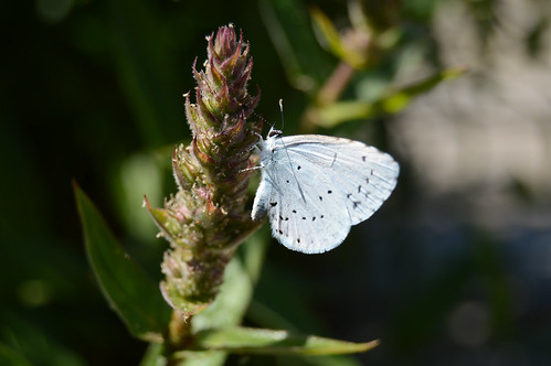 Faulbaum-Bläuling - Holly Blue - Celastrina argiolus