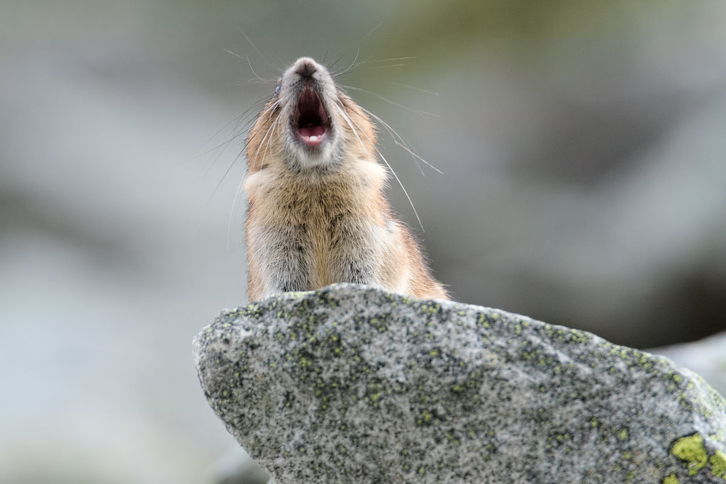 An American pika calls out