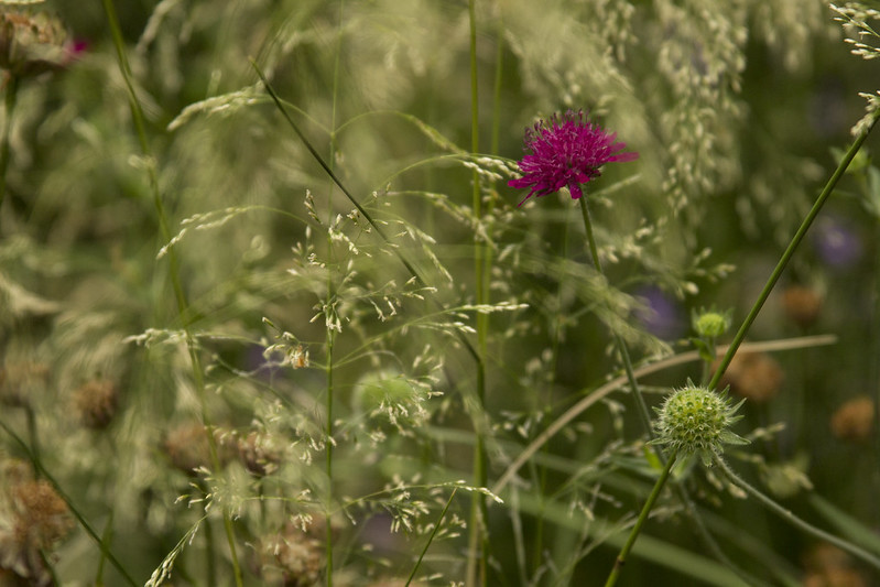knautia and deschampsia
