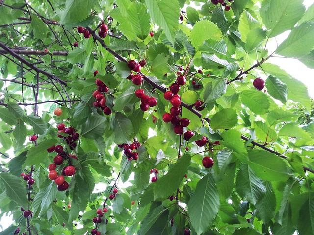 Sweet cherry 'Artur'