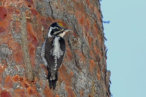 colorado usa americanthreetoedwoodpecker grandmesa deltacounty picoidesdorsalisdorsalis picoidesdorsalis