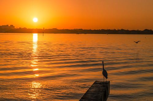 birdkey florida sarasotabay interestingness interesting morning morninglight morningsun sunrise america nikon nikon2470mmf28 goldenhour goldenhourlandscape snowyegret pelican