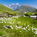 Small photo of Cottongrass in Val Maighels