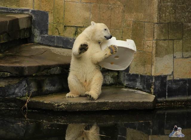 Eisbär Fiete im Zoo Rostock 11.07.2015  0176