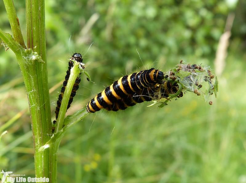 P1140342 - Cinnabar Moth Caterpillars