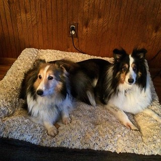 Could they be any cuter? Maggie and Jake #shelties #shetlandsheepdog