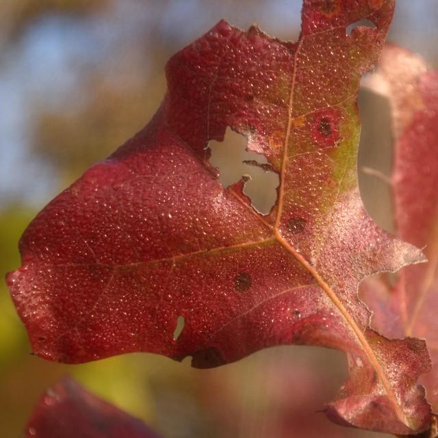 Dew On Changing Leaf