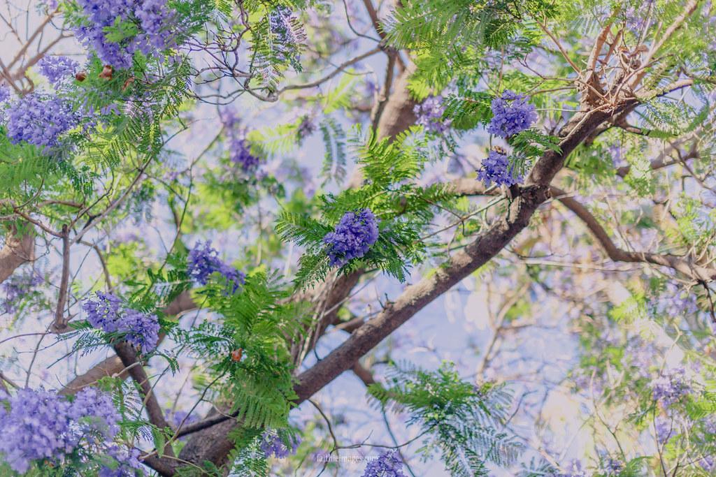 from below a jacaranda tree
