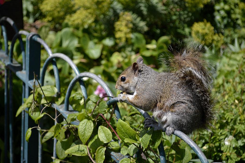 Brighton's Squirrel.