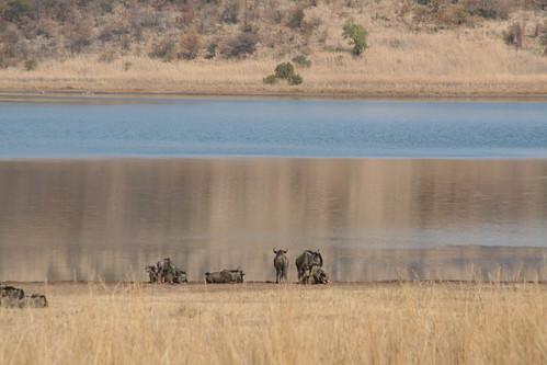 Wildebeests waterside