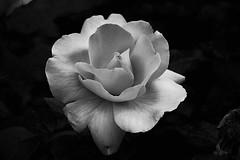 3242 Rose