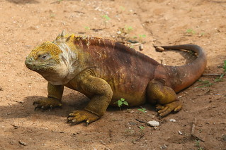 Land Iguana.  Galapagos Islands, Ecuador.
