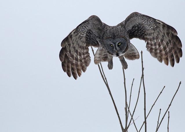 Great Gray Owl...#47