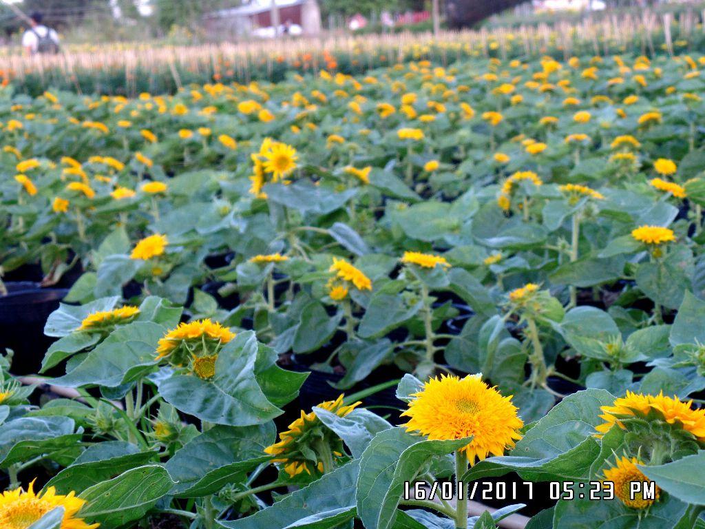 Hoa hướng dương lùn