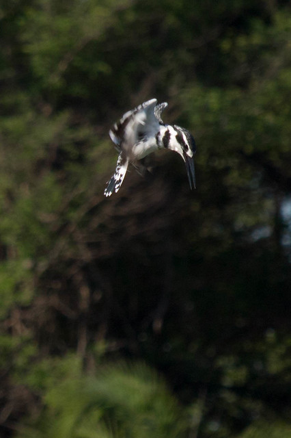 Pied Kingfisher diving