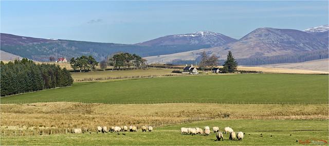Jackdaws Ewes and Mountains (Glenlivet)