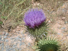 produce(0.0), fauna(0.0), flower(1.0), thistle(1.0), plant(1.0), wildflower(1.0), flora(1.0), silybum(1.0), artichoke thistle(1.0),