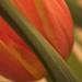 Tulip by dabi