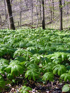 mayapple leaves carpeting ground by Martin LaBa
