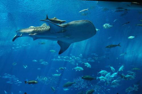 Инициатива поможет спасти головастую морскую черепаху, альбатросов и акул