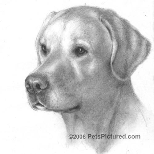 Labrador Retriever Drawings Yellow Labrador Retriever