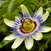 Bordeaux Passion Fruit Flower