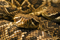 boas, animal, serpent, eastern diamondback rattlesnake, snake, reptile, macro photography, fauna, viper, close-up, rattlesnake, scaled reptile, kingsnake, wildlife,