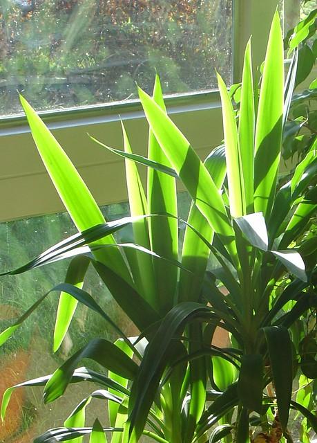 backlit yucca flickr photo sharing. Black Bedroom Furniture Sets. Home Design Ideas
