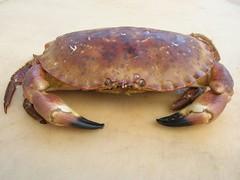homarus(0.0), food(0.0), soft-shell crab(0.0), american lobster(0.0), crab(1.0), animal(1.0), shellfish(1.0), crustacean(1.0), seafood(1.0), invertebrate(1.0), dungeness crab(1.0),
