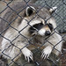 Small photo of Barred racoon