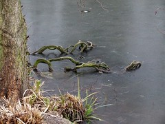 Roots in the ice