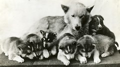 siberian husky(0.0), keeshond(0.0), alaskan malamute(0.0), dog breed(1.0), animal(1.0), puppy(1.0), dog(1.0), norwegian elkhound(1.0), monochrome photography(1.0), greenland dog(1.0), wolfdog(1.0), monochrome(1.0), carnivoran(1.0), black-and-white(1.0),