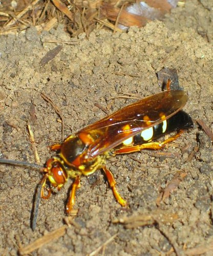 Cicada-Killer Wasp, Austin, Texas USA